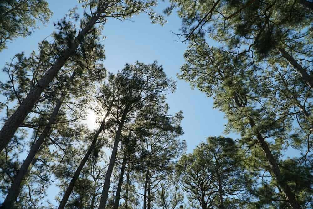 View from the ground of tall trees against a backdrop of a clear sky.