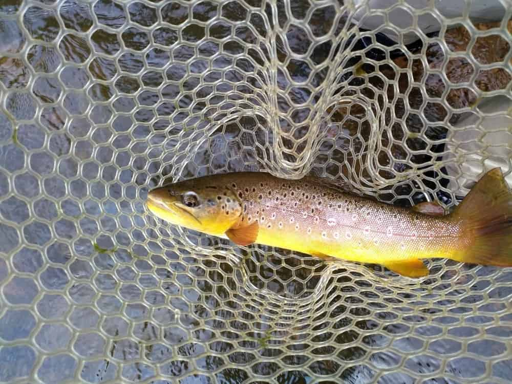 One of the fish that can be catch from the river is this gorgeous Cheesman Brown Trout. Here's a focused look at the fish.