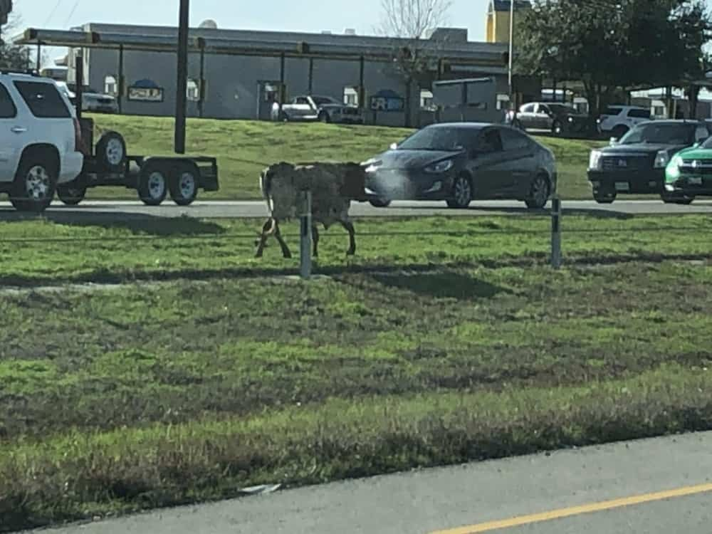 A bull escaped from his pen and run towards Highway 71.