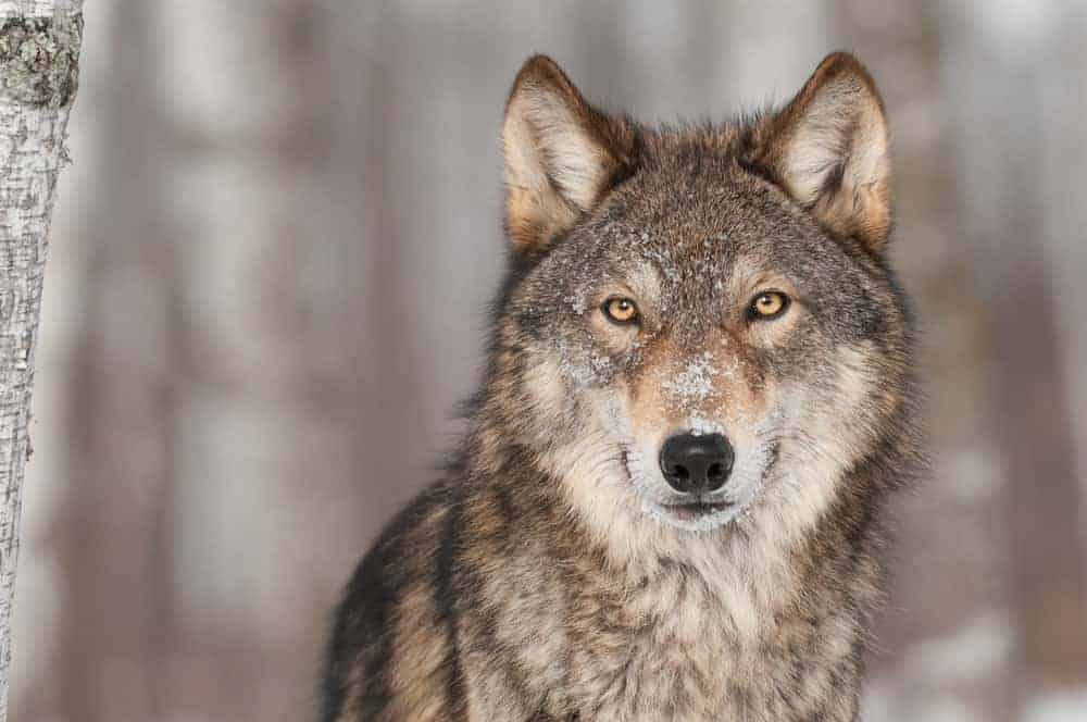 A close-up capture of a wild wolf.