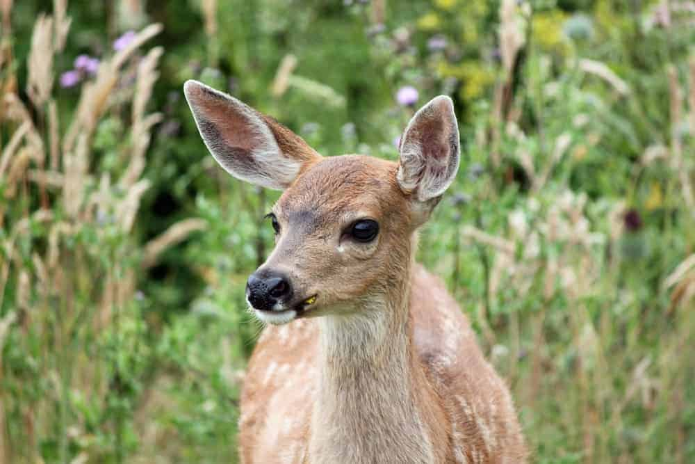 A capture of a fawn in Dugualla State Park, Whidbey Island.