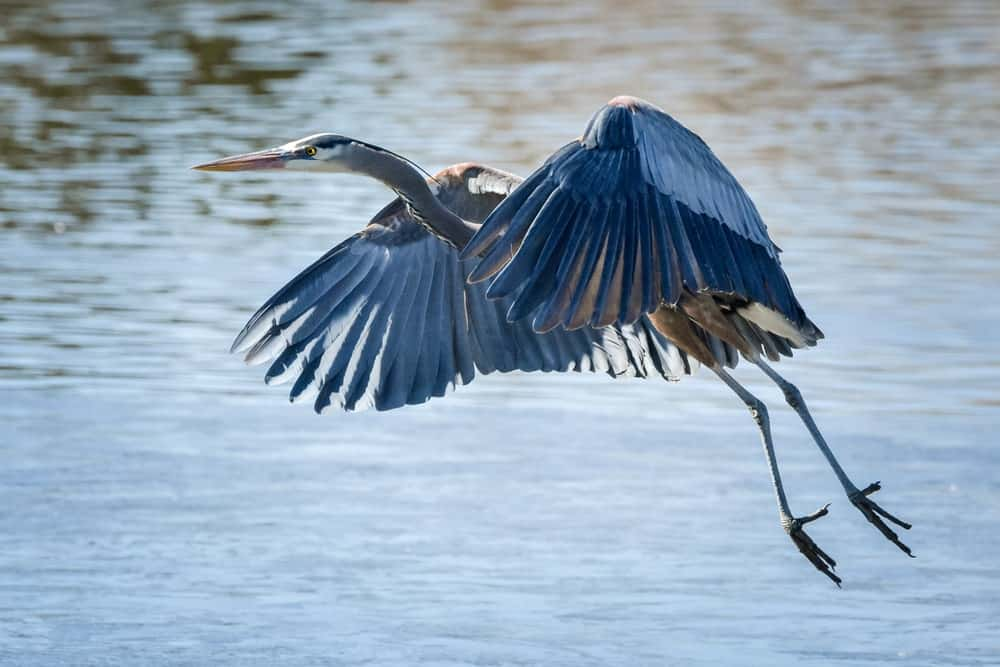 A close capture of a great blue heron flying in WHidbey Island.