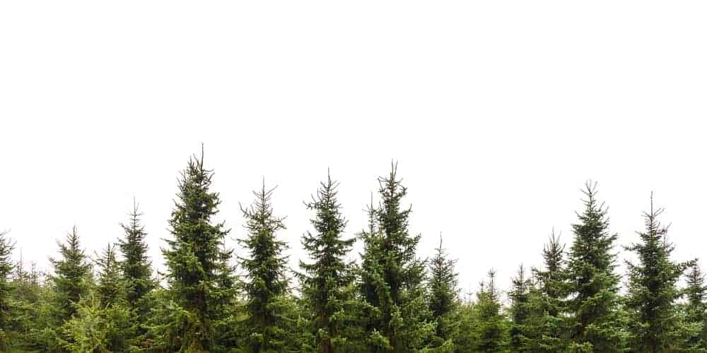 A row of pine trees.