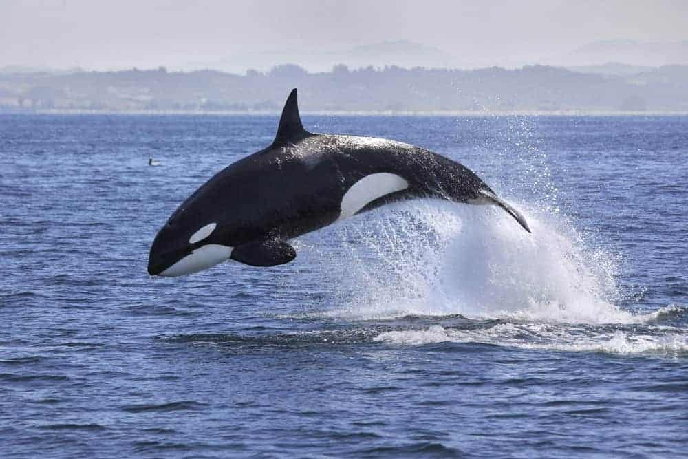 A killer whale jumping out of water as seen from Whidbey Island.