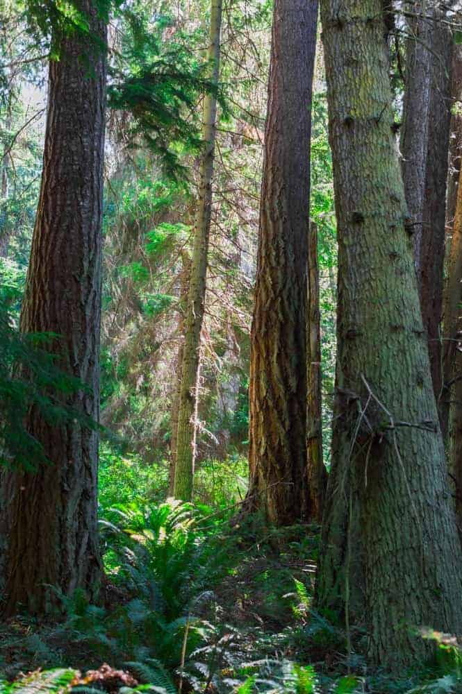 A view of the tall trees in South Whidbey State Park.