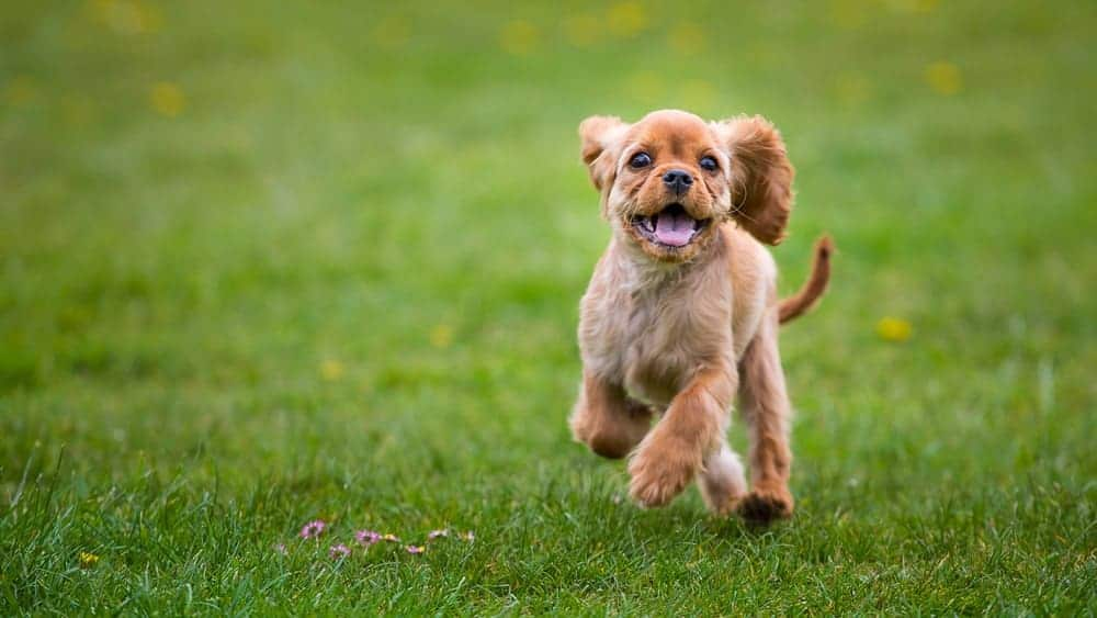 A small dog running on green grass.