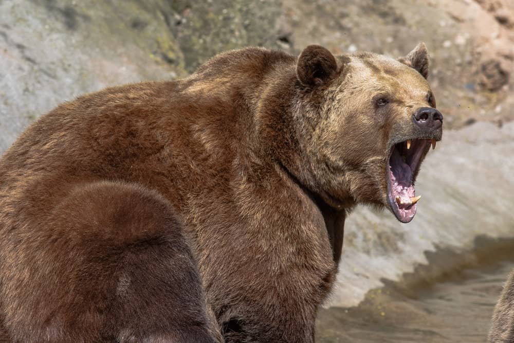 A large growling brown bear.