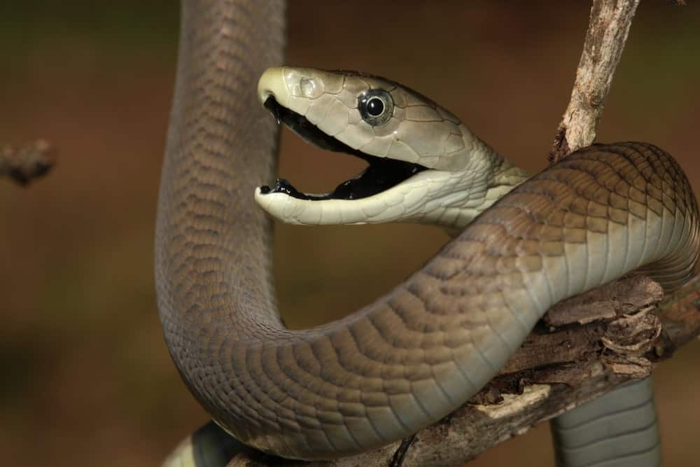 A close look at a threatened black mamba.