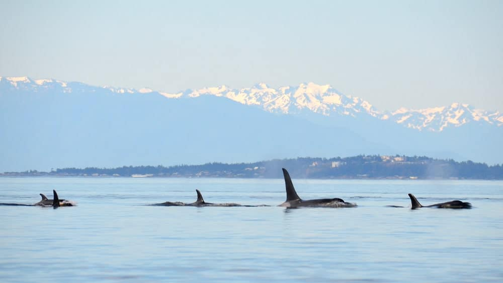 A group of killer whales in the ocean.