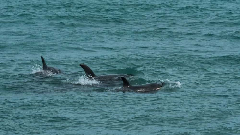 A trio of whales in the ocean.