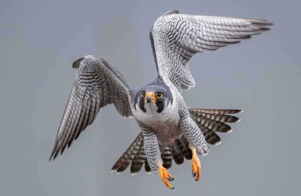 Peregrine falcon in flight in Crockett Lake Preserve.