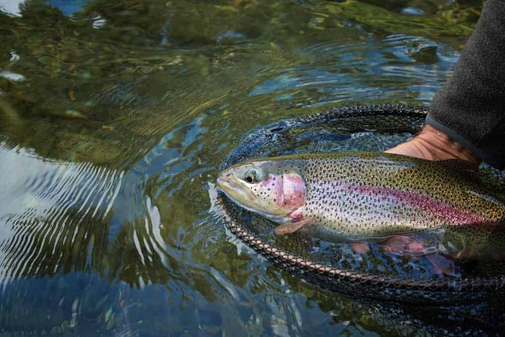 A rainbow trout caught in Deer Lake.