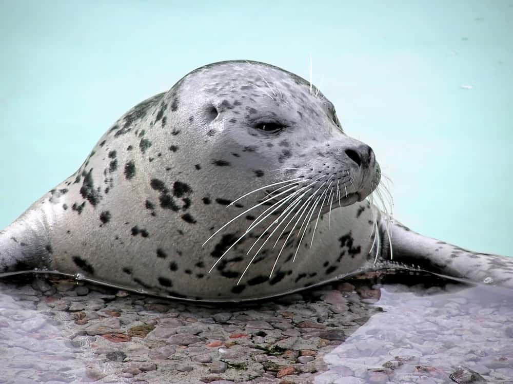 A close look at a harbor seal in Langley Whale Center.