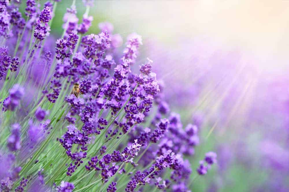 A close look at lavender flowers in the Lavender Wind Farm.