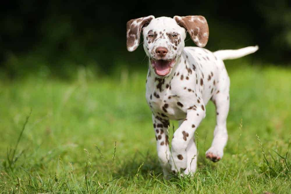 A dalmatian puppy running on grass of Marguerite Brons Memorial Park.