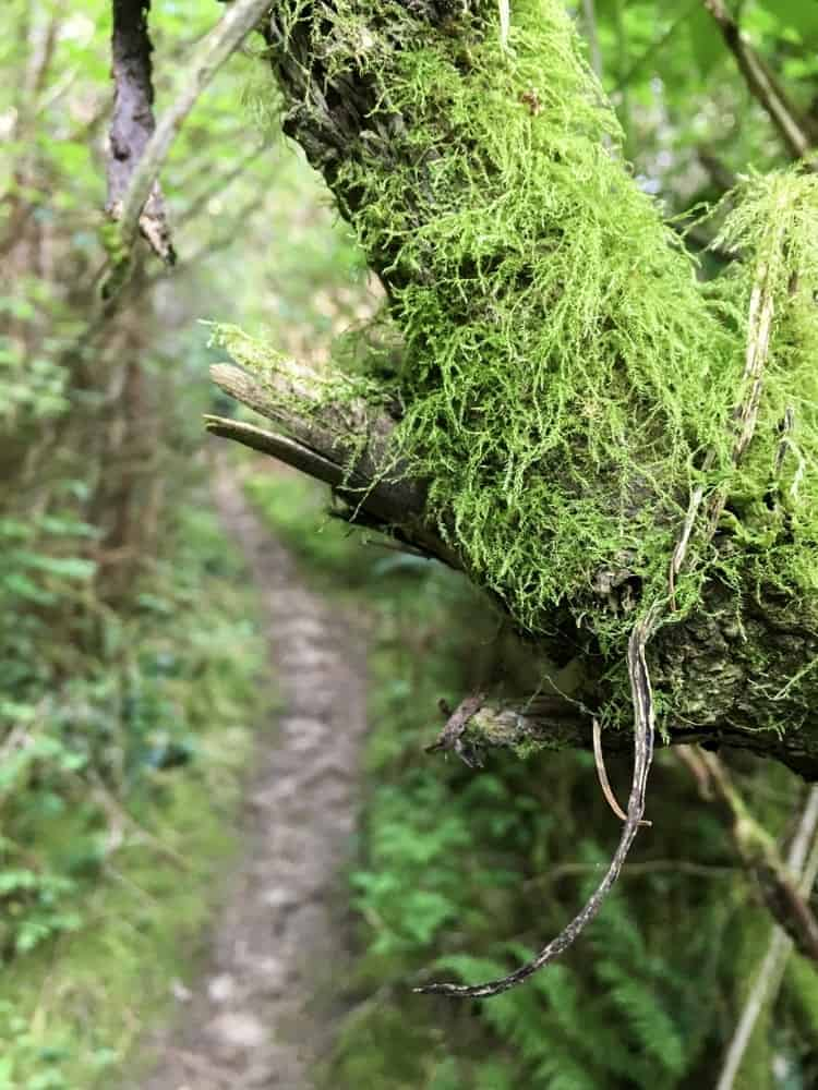 A mossy branch on a forest trail in Putney Woods.
