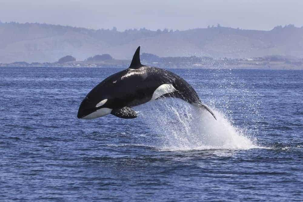 A killer whale jumping out of water.