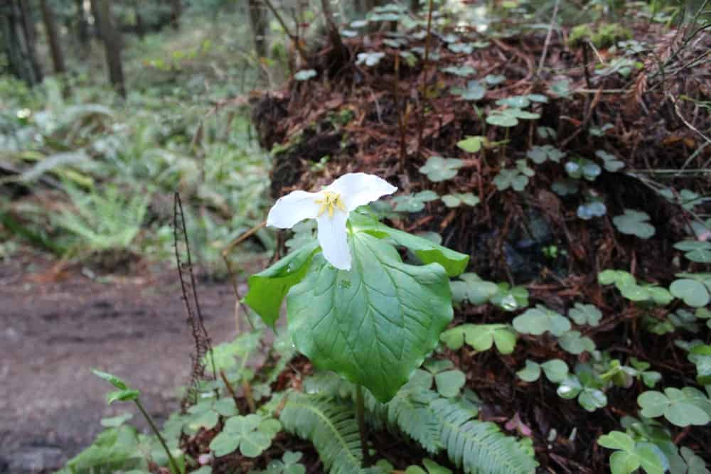 A single trillium flower seen in the jungle of one of hiking trails.