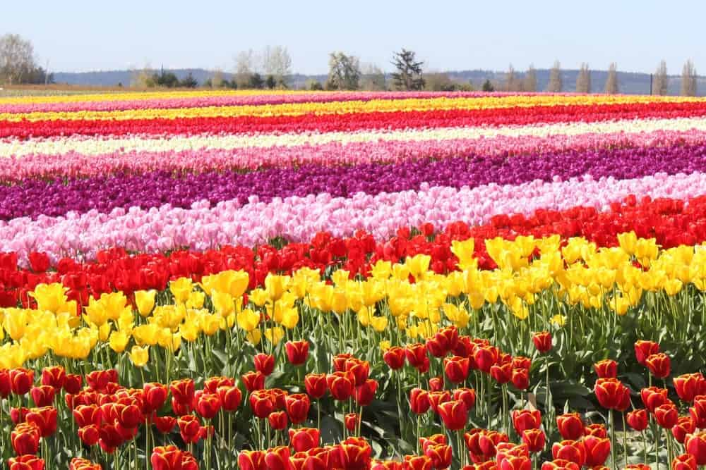 A view of Tulip Fields in Skagit Valley.