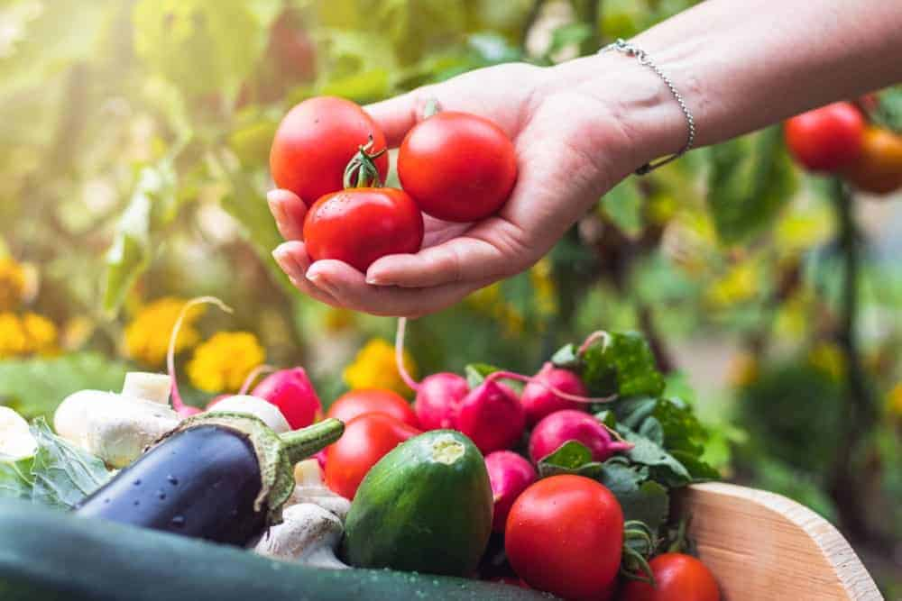 A look at freshly harvested tomatoes and various other vegetables.