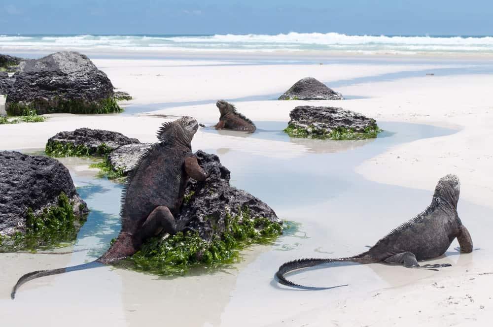 Marine iguanas at the beach of Galapagos Island.