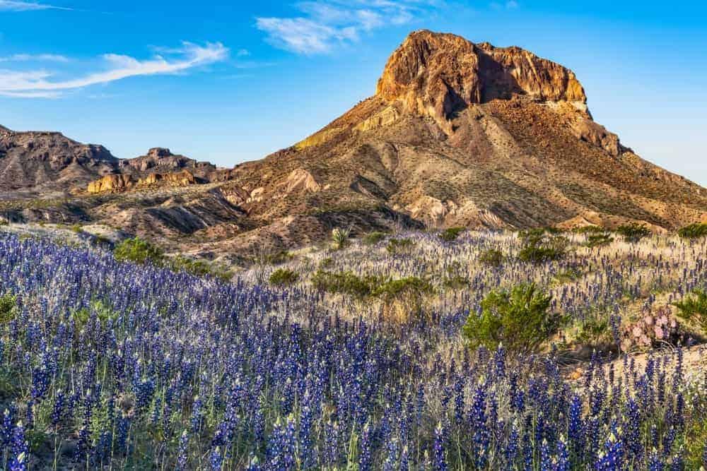 Blue bonnet flowers at the foot of Cerro Castellan in Big Bend National Park.