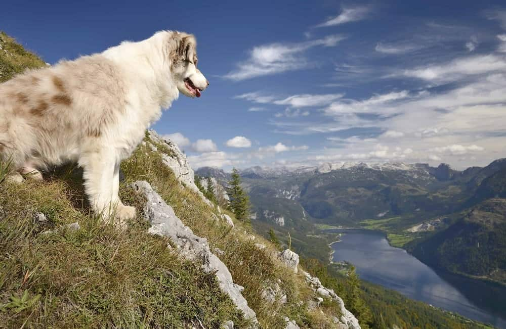An Australian Shepherd on a hill slope looking down at a lake.