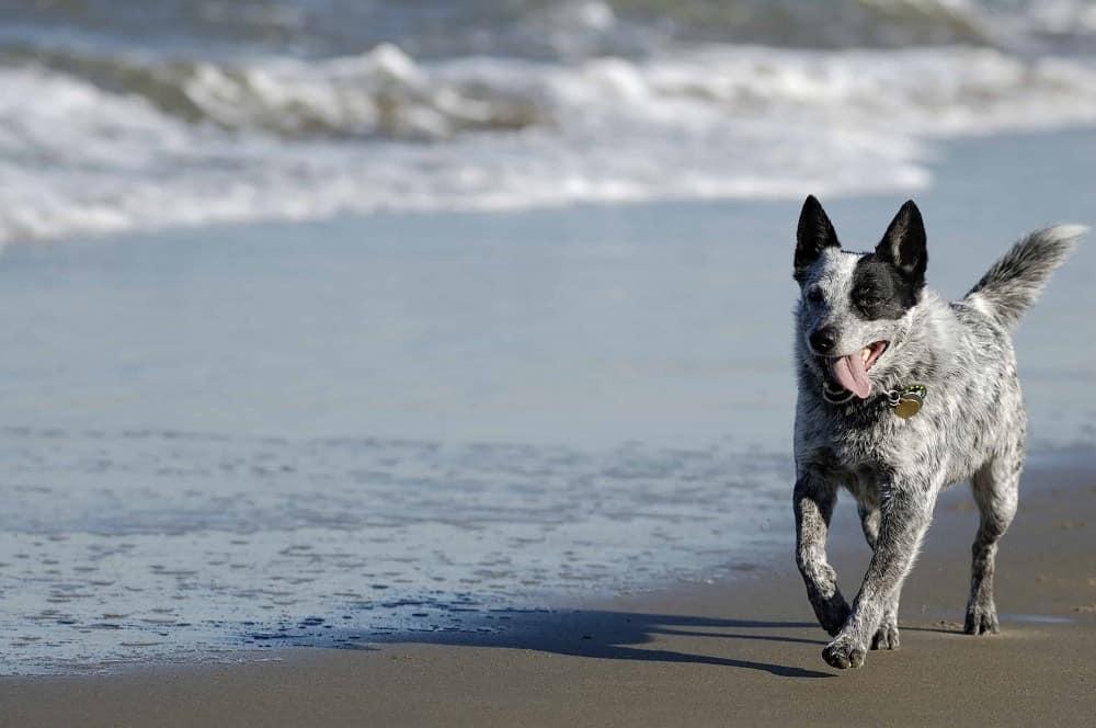 An Australian cattle dog running on the beach.