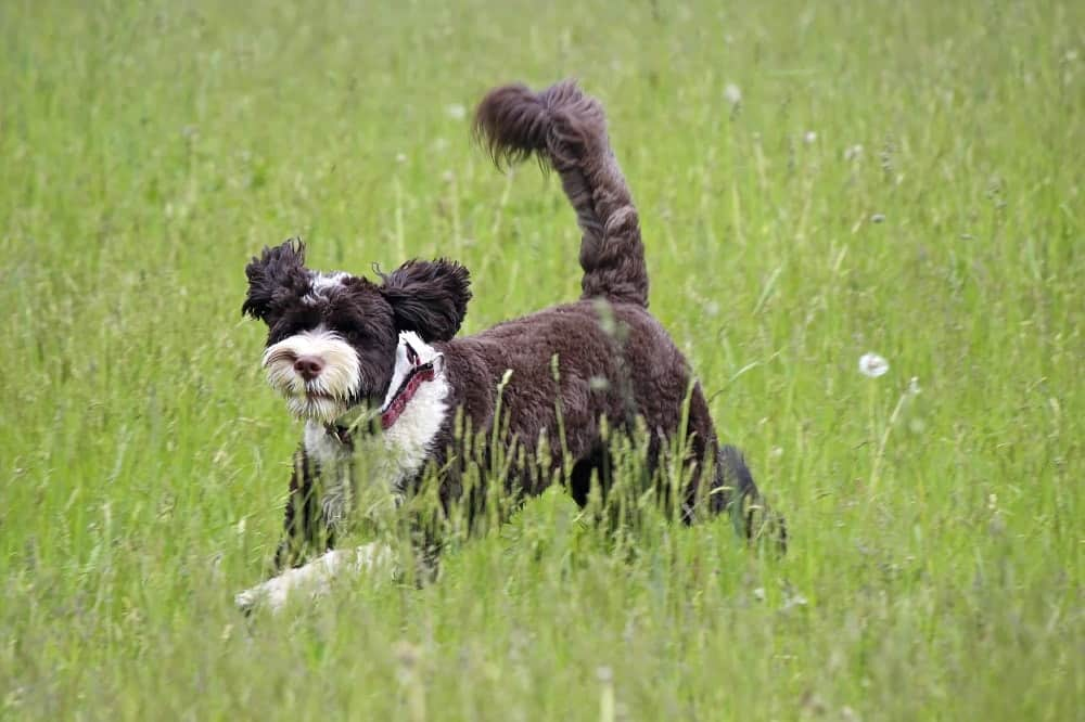 A Portuguese Water Dog running in a field of grass.