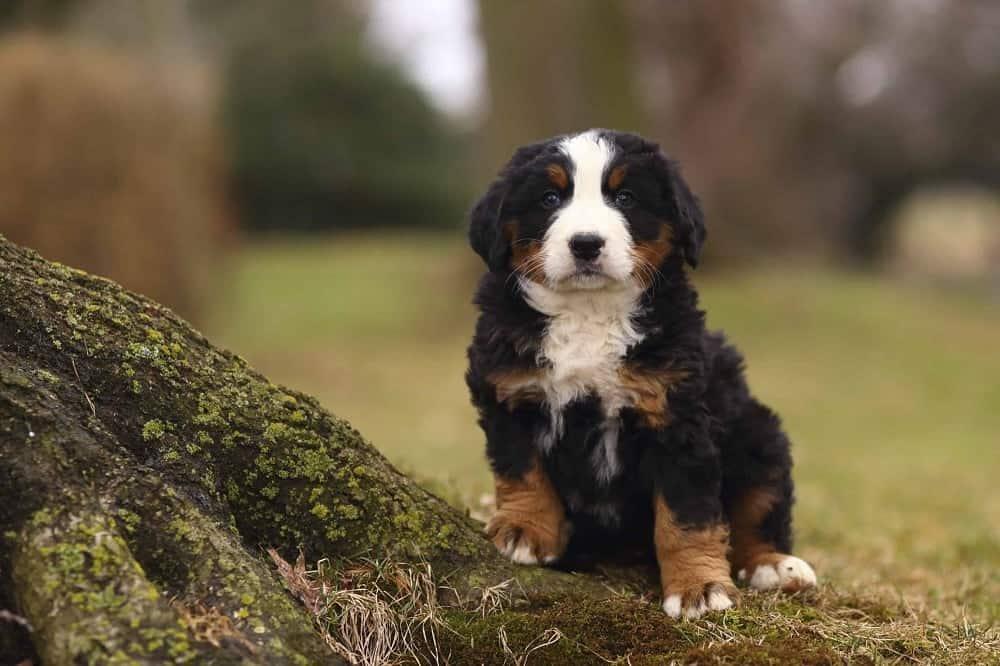 A Bernese mountain dog puppy sitting on ground.
