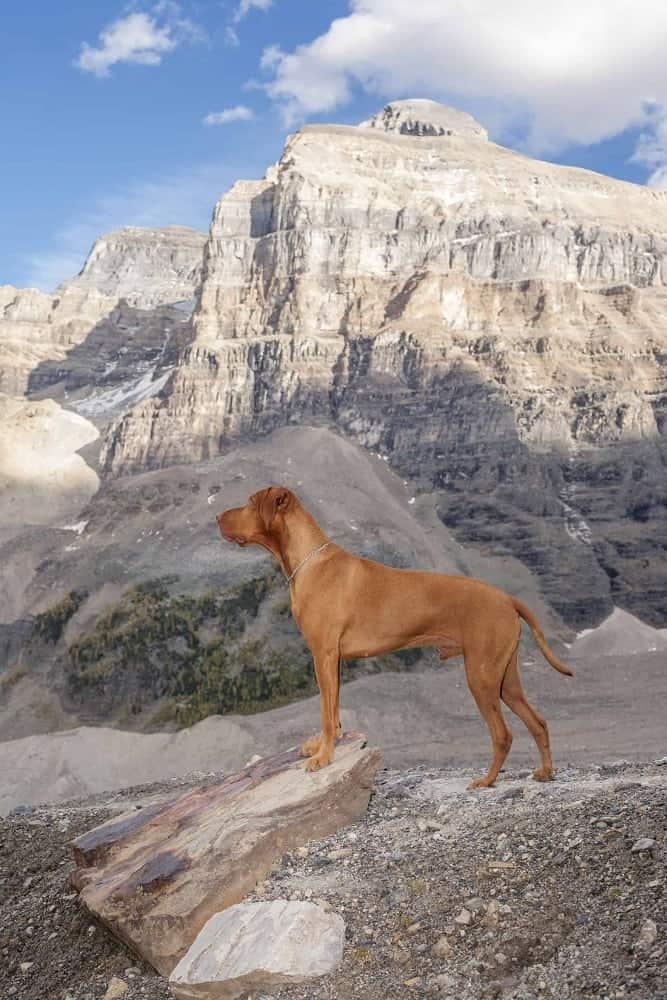 A Vizsla dog in the mountains.
