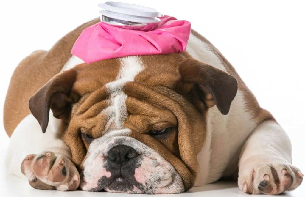 An English bulldog puppy with pink water bottle on head on white background.
