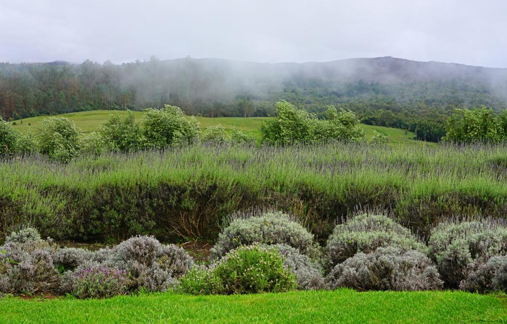 A misty lavender field in Maui, Hawaii.