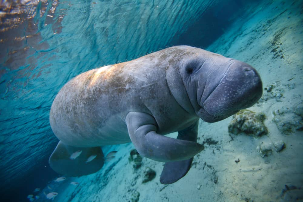 This is a close look at a manatee swimming in the river of Florida.