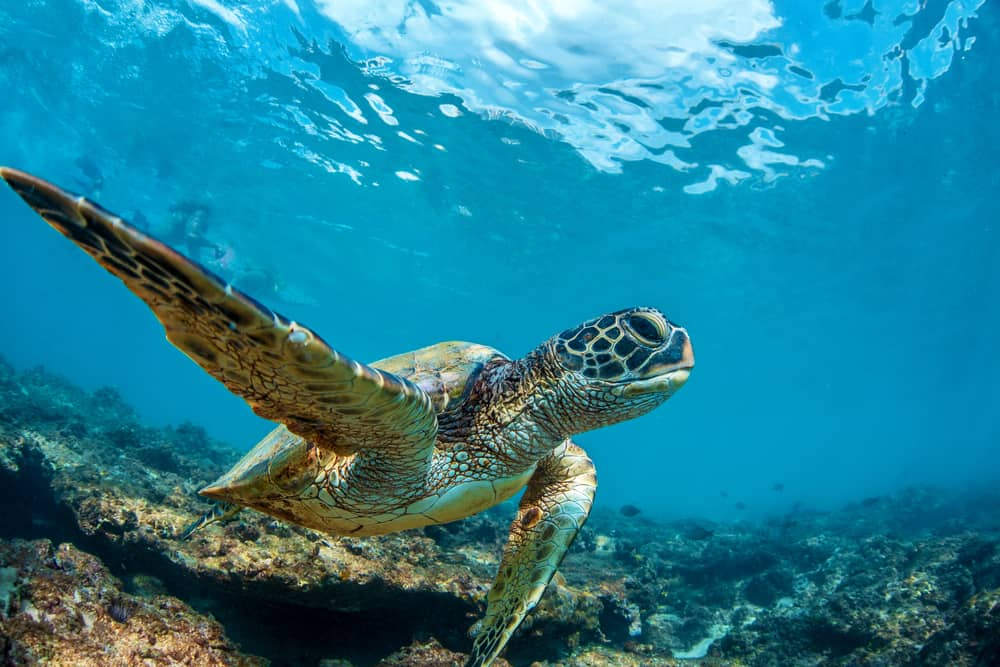 A turtle swimming by the Maui coral reef.