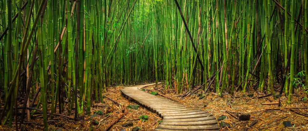A path through the bamboo forest in Haleakala, Maui.