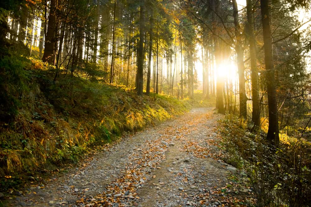 Mountain path flanked by tall autumn forest trees at sunset.